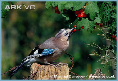 British Jay Bird
