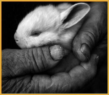 Human Hands Protecting a Bunny