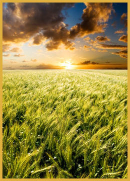 Wheat in the Sunlight